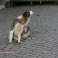 Радомирско куче